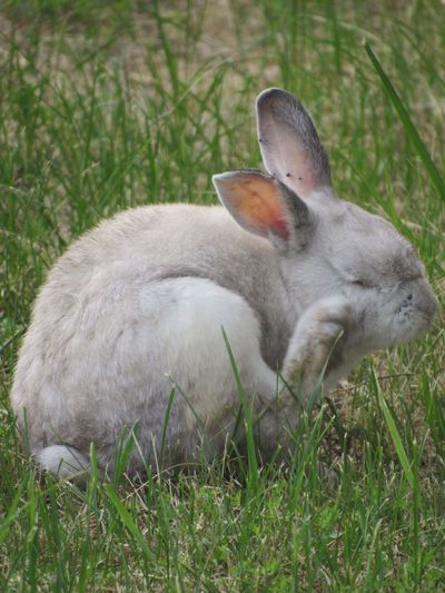 Grass Rabbit White Rabbit Scratching Itchy No Edit/no Filter