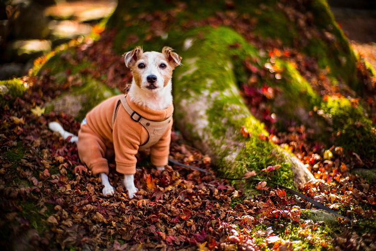 Portrait of dog on leaves during autumn
