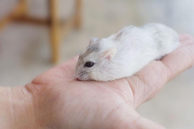 Little winter white hamster sleep on hand