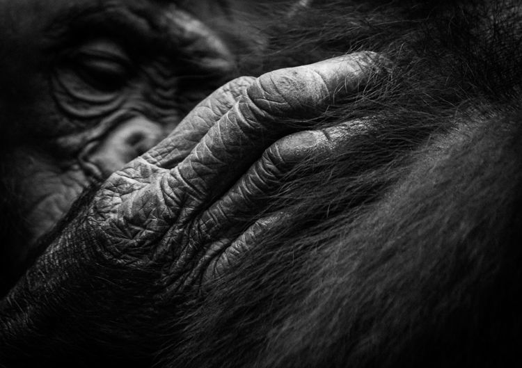 Close-Up Of Chimpanzee Grooming