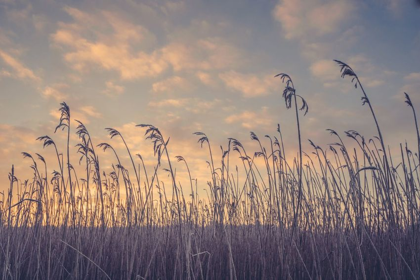 Rushes in the sunset in the winter Sky Beauty In Nature Cloud - Sky Sunset Growth Nature Tranquility Vertebrate Outdoors Non-urban Scene Tranquil Scene Field Scenics - Nature No People Land Grass Plant Day Environment Idyllic