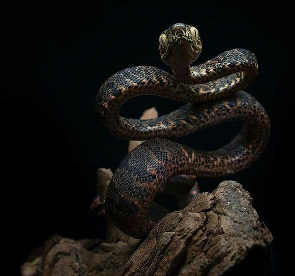 Reptile Black Background One Animal Animal Themes Night Animal Close-up Nature Terrarium🍀 Terraristic Snake Snake Photography Looking