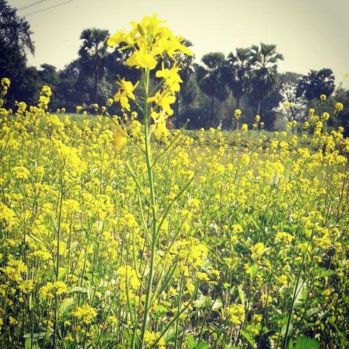 Good Morning Mustard Field Yellow Flowers Winter Seasonal Crops Instafield Instanature Instadaily Pic_of_the_day Follow Me .