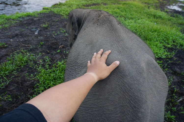 Cropped Hand Of Person Touching Elephant Calf On Field