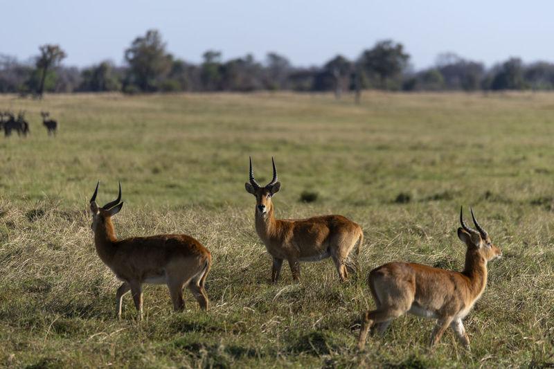 Herd of impsla on field