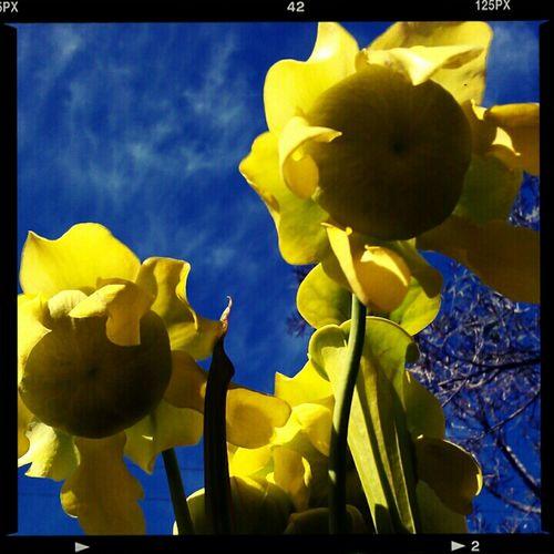 Sarracenia Flava Flowers No Edit