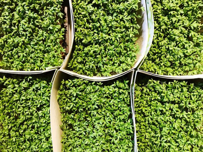 Cress Garden Cress Retail  Market Green Color Abundance Large Group Of Objects Full Frame No People Outdoors Plant Day Nature Growth Freshness Food Healthy Eating Close-up