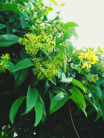 Leaves_collection Leaves🌿 Vines Albay,bicol