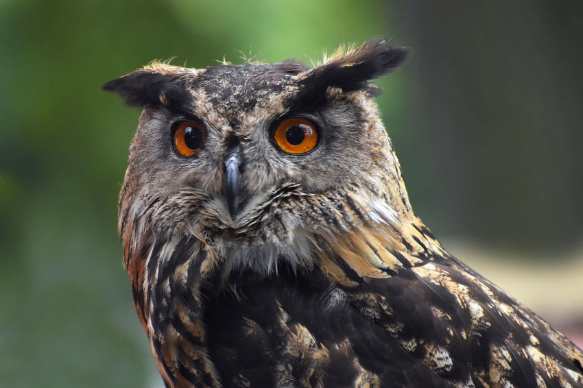 Eurasian eagle owl (bubo bubo) portrait, owls are often used as a symbol of wisdom Eagle Owl  Animal Themes Bird Bubo Bubo Day Looking At Camera No People One Animal Owl Portrait
