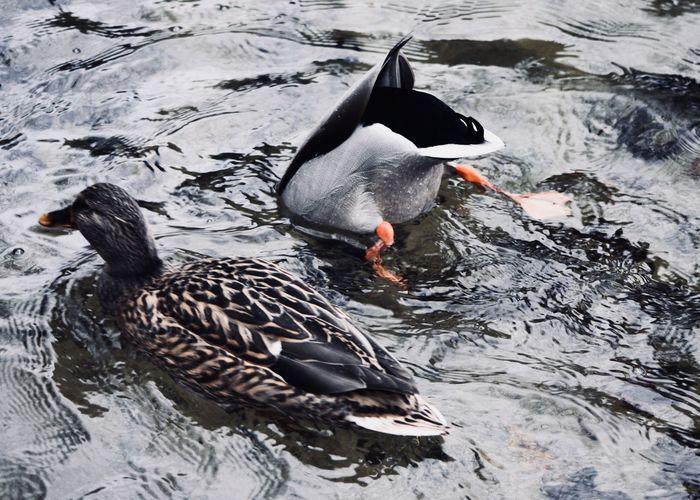 Duck swimming on lake