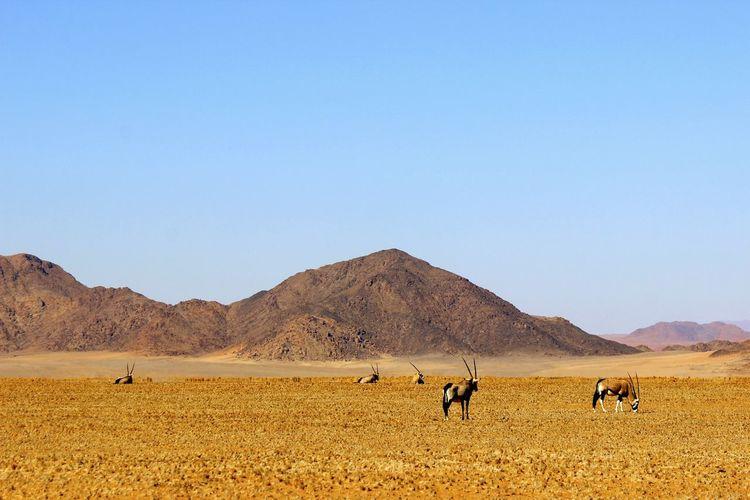 Gemsbok grazing on field