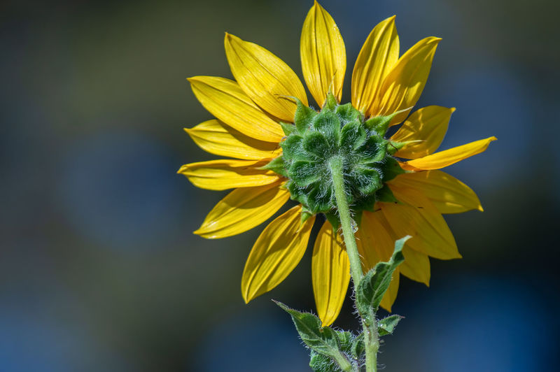 Sunflower Beauty In Nature Close-up Day Flower Flower Head Flowering Plant Focus On Foreground Fragility Freshness Growth Inflorescence Nature No People Outdoors Petal Plant Sunflower Vulnerability  Yellow