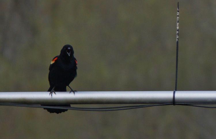 """Hey!!!"" Red Winged Black Bird EyeEm Nature Lover Bird Photography Birdwatching EyeEm Birds Sony A6000"