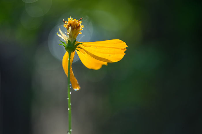 Aging Beauty In Nature Close-up Copy Space Day Flower Flower Head Fragility Freshness Growth Living Organism Nature No People Outdoors Petal Plant Springtime Yellow