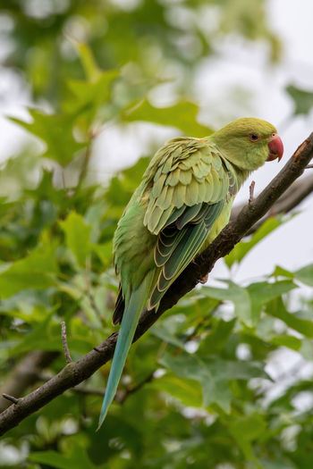 Closeup Isolated Tree Feathers Bird Rosé Green Parrot Tropical White View Red Bright HEAD ASIA Aves Beak Forest Color Blue Habitat Long Beauty Avian Beautiful Background Wild Ringed Nature Parakeet Pet Exotic Animal Wildlife Krameri Psittaculidae Psittacula Ring-necked Rose-ringed Hunger Hungry Behaviour Green Tail Wild Cute Garden Tree Beak