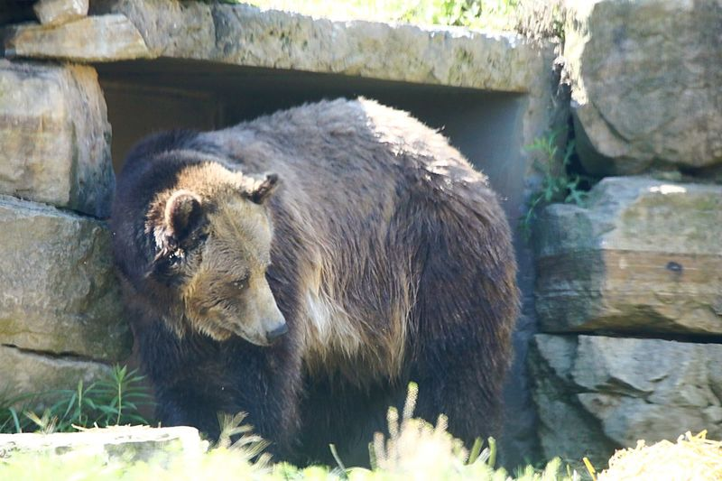 Grizzly Bear Akron Zoo Akron Ohio EyeEm Best Shots Family Trip Brown Color Grizzly Bear Large Animal Beautiful Animal Themes Animal Animal Wildlife Mammal Animals In The Wild One Animal Vertebrate Day No People Nature Sunlight Zoo Outdoors Solid Animals In Captivity Wall - Building Feature
