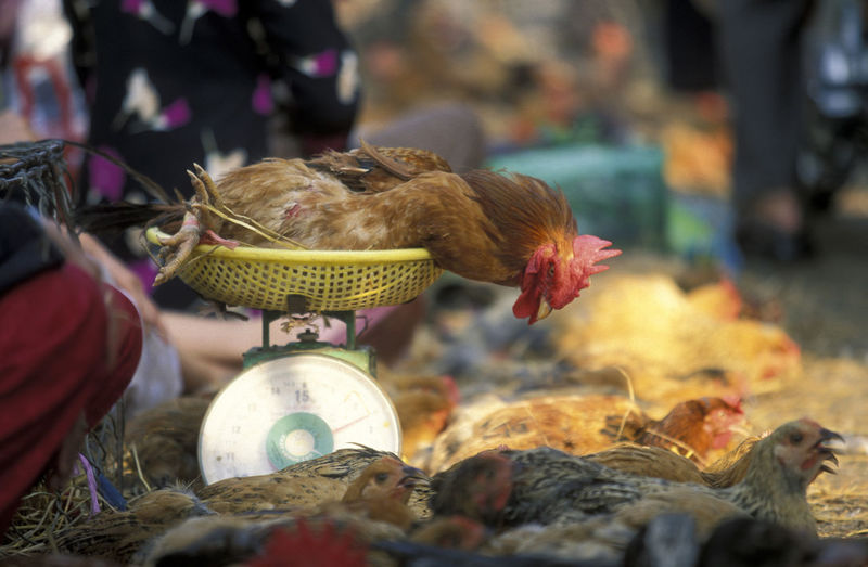 Rooster on weight scale at market