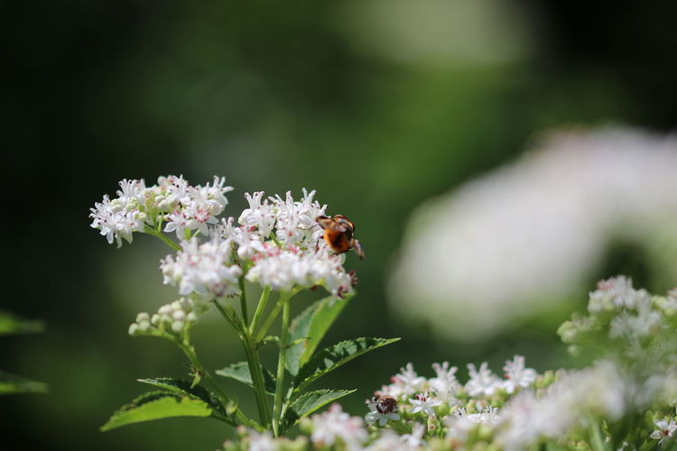 Insect Pollinating On White Flowers