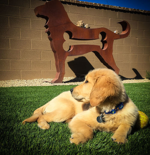 Kudos is a little service dog puppy in training. Animal Animal Themes CCI Day Dog Domestic Animals Golden Retriever Puppy Mammal No People Pets Puppy Service Animals Servicepup