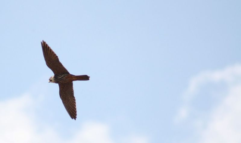 Beauty In Nature Bird Of Prey Bird Photography Blue Cloud Cloud - Sky Day Falco Subbuteo Flying Hobby Hobbyphotography Hunter Of The Skies Hunting Mid-air Nature No People Outdoors Sky Spread Wings Tranquility Wild Life Wildlife Wildlife & Nature Wildlife Photography Wlldlife