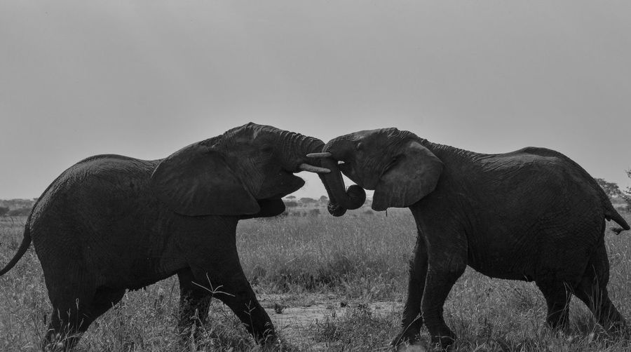 Two young elephants playing.