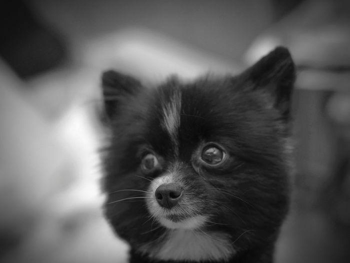 Pomeranian Dog Pets Indoors  Domestic Animals Close-up The Dog Pet Portraits