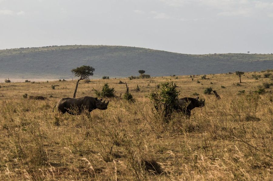Animal Animal Wildlife Animals In The Wild Couple Kenya Rhino Rhinos Running