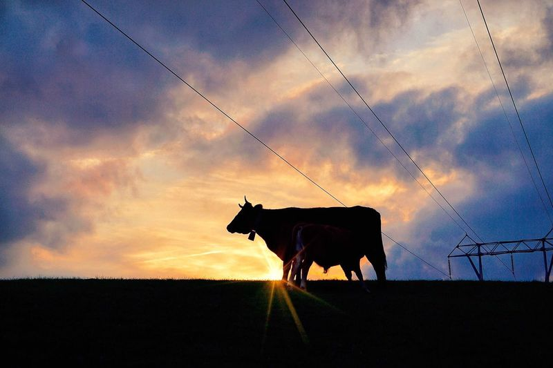 Domestic Animals Animal Themes Sunset Sky Mammal Livestock One Animal No People Nature Field Cloud - Sky Horse Silhouette Outdoors Working Animal Landscape Pets Farm Animal Beauty In Nature Day Nature Landcape Travel Sunset_collection Sun