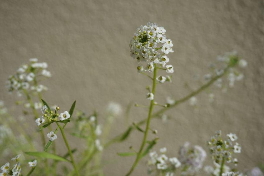 Alyssum Alyssum White Flower EyeEm Selects Flower Flower Head Close-up Plant Flowering Plant Plant Life In Bloom Petal Botany Blooming