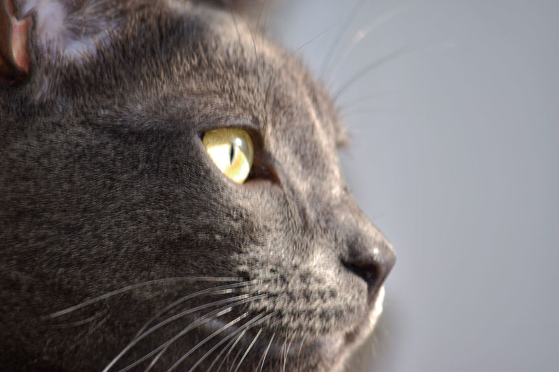 Animal Head  Animal Themes Cat Cat Lovers Cats Cats Of EyeEm Close-up Day Domestic Animals Domestic Cat Feline Indoors  Mammal No People One Animal Pets Portrait Profile RussianBlue Russianbluecat Whisker