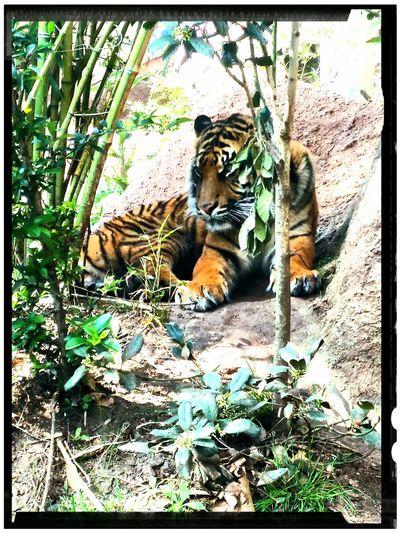 Wildlife & Nature Tiger Tigers Sad Face Captivity Captivity Of A Wild Best