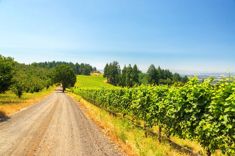 Gravel road passing vineyards near Dundee, Oregon Beauty In Nature Dundee Field Grapes Green Green Color Landscape Nature Nature Northwest Oregon Oregon Wine Country Outdoors Pacific Northwest  Pinot Noir Sky Tourism Travel Travel Destinations Tree USA Vineyard Wine