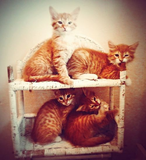 these precious little baby gingers will always bring joy to my heart I pray to find them wonderful forever homes that will love them like I do and soon walked into the room and found them on this all four of them cute little bugs Ginger Cat Paws Cat Eyes Catlovers ❤️🔥❤️ Beautiful Creatures Fluffy Loveallanimals Paws And Purrs Animals Pawsome Hayward, Ca. Catstarcat Gingercatsofinstagram Gingerkitty Catsofeyeem Cat Hi Gingercatsrule Catsoftheworld That's Me