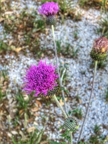 Texas Thistle Circium Texanum Thistle Texas Wildflowers Wildflowers Wildflower Wild Purple Flower Texas Texas Landscape Flowers Flower Collection Nature_collection Flower_Collection Spring Spring Flowers Springtime Nature Photography Naturelovers EyeEm Nature Lover Eye4photography  EyeEm Flower IPhone Eye4photography  Flower Purple Fragility Nature Growth Plant Beauty In Nature Petal Flower Head Freshness Day Blooming Focus On Foreground Stem No People Outdoors Close-up Pink Color Eastern Purple Coneflower