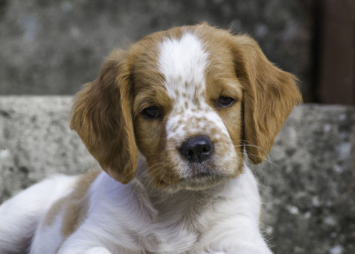 Brittany Puppies playing Breton Brittany Brittany Spaniel Animal Themes Baby Brittanys Breton Puppy Brittany Puppies Brittany Puppy Brittany Pups Cute Day Dog Domestic Animals Epagneul Breton Epagneul Breton Puppy Gun Dog Gun Dogs Mammal No People One Animal Outdoors Pets Pointing Dogs Puppies
