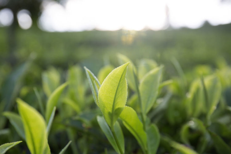 Tea Plantation Tea Tea Crop Growth Green Color Plant Nature Beauty In Nature Leaf Close-up Field Land Plant Part Focus On Foreground No People Day Outdoors Tranquility Landscape Environment Agriculture Fragility Freshness Plantation Dew Green Color Green Tea Tea Plantation