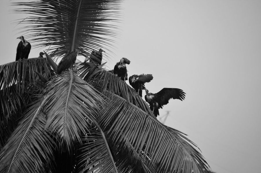Black & White Animal Themes Beauty In Nature Bird Black And White Black And White Photography Blackandwhite Blackandwhite Photography Clear Sky Day Fanned Out Low Angle View Nature No People Outdoors Palm Tree Sky Tree Vulture Vultures Vultures Observing Perspectives On Nature Black And White Friday