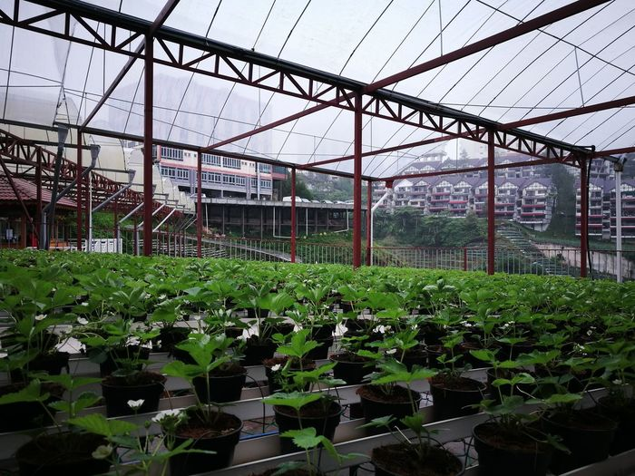 Cameron Highlands Greenhouse