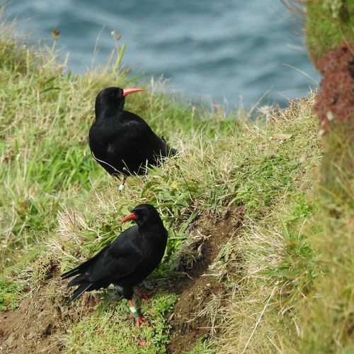 Bird Grass Black Color Animal Themes Animals In The Wild Outdoors Animal Wildlife Taking Photos Eye4photography  Beauty In Nature From My Point Of View Eyemphotography EyeEm Nature Lover Chough Cornwall Uk Botallack