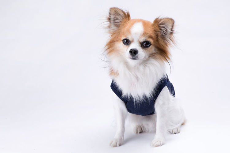 Animal Themes Cavalier King Charles Spaniel Day Dog Domestic Animals Mammal No People One Animal Pembroke Welsh Corgi Pets Pomeranian Puppy Sitting White Background