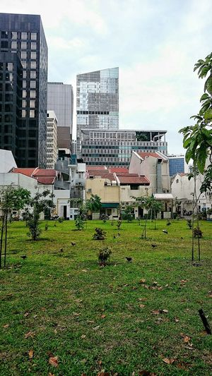 I like how there's a verdant space dotted with saplings coupled with scenes of pigeons pecking away & the juxtaposition of modern highrise office buildings and old shophouses turned offices/pubs bordering this space.....& to the left are welcoming benches and those iron double swings stationed purposely for those who needs a breather from periods of stultifying moments.....vignette of Singapore. Sightseeing Juxtaposition Juxtastreetphoto Juxtapositionphoto Juxtapositioning Singapore Singapore View Singapore City Mytravelgram Wandering Wandering Around Aimlessly Discover Your City Discoveringmycity Discovering Places Discovering The Neighbourhood Streetsofsingapore TOWNSCAPE Streetscape Highrise Architecture Building Architecture_collection Architecture Architectureporn BuildingPorn Verdant The Week On EyeEm Summer Road Tripping