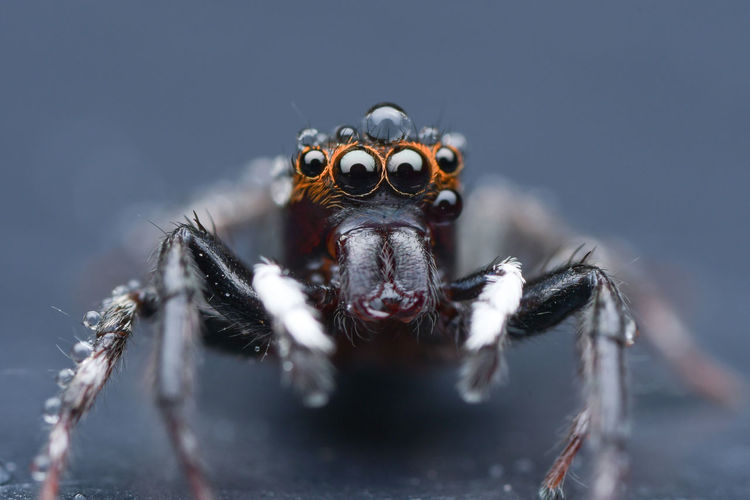 Jumping Spider Nikon Laowa 25mm Ultra Macro 2.5-5.0X Macro Photography Macro Portrait Looking At Camera Close-up Spider Jumping Spider Spider Web Animal Mouth Animal Eye HEAD Animal Leg Web