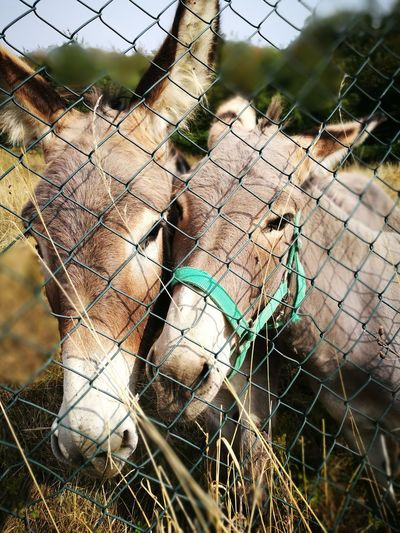 Close-up portrait of horses by chainlink fence