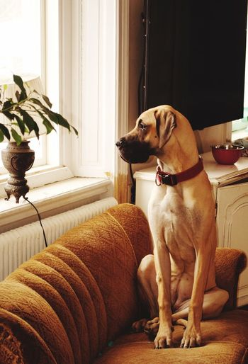 Great dane sitting on sofa at home