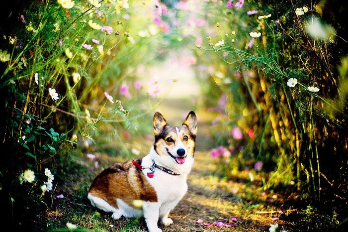 Dog Corgi Welsh Corgi Pochiko Flower Flowering Flora Cosmos Flower Tunnel Tunnel Of Flowers... Selective Focus Focus On Foreground Bokeh Dof Depth Of Field Leicacamera LeicaM7 Noctilux 50mm F1.0