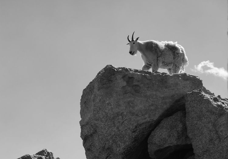 Low angle black and white landscape of a mountain goat standing on a boulder on mount evans