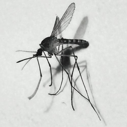 Mosquito in