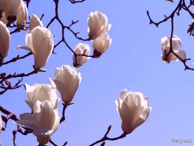 Magnolia Magnolia-report-2015 EyeEm Nature Lover Flowerporn