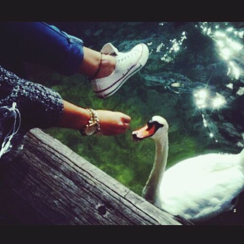 Feeding swans, Taking Photos , Livingthegoodlife , Zurich, Switzerland