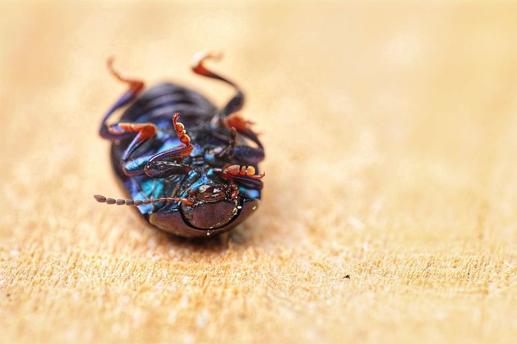 Insect Insect Photography Beauty In Nature Close-up Play Dead Beetle Insect Nature Beetle Bug Nature Selective Focus